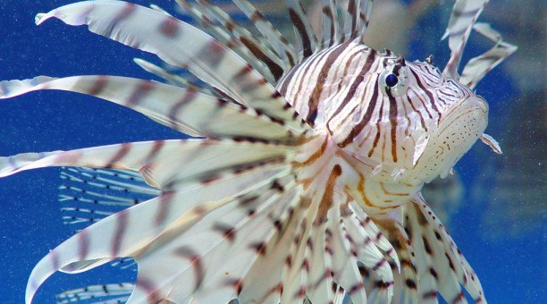 Lionfish, Great Barrier Reef